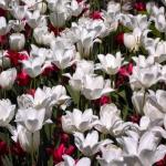 Tulpenmeer-Kunst