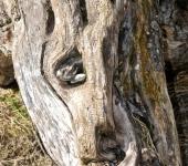 Holzschädel
