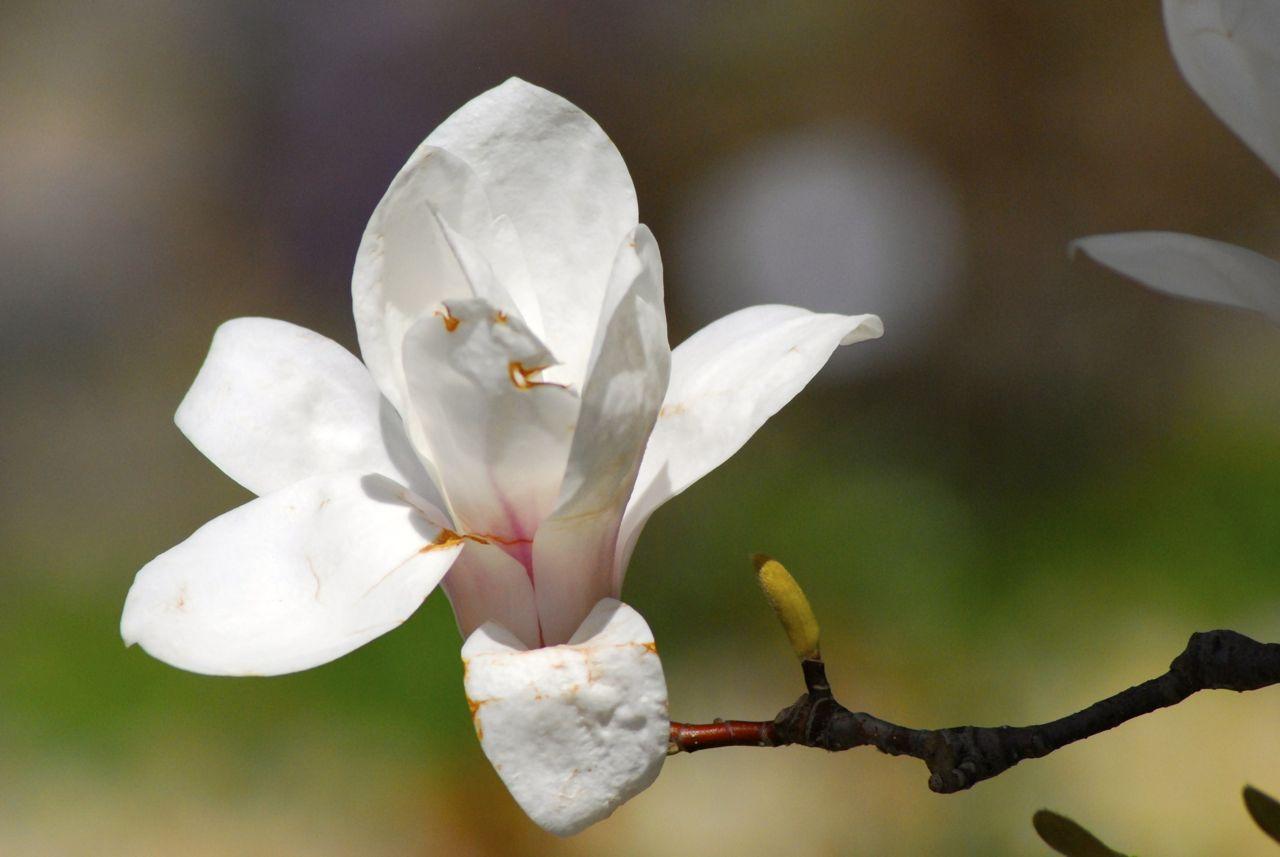 Magnolie – immer schön