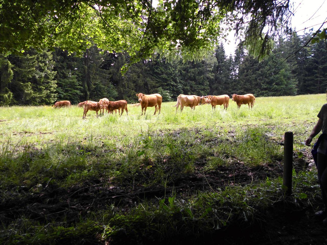 Musikalische Kühe