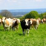 Und wieder: Musikalische Kühe